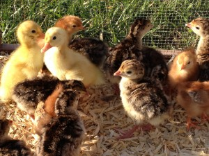 Turkey poults, chicks and ducklings
